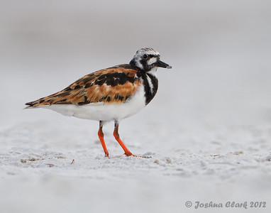 Ruddy Turnstone Fort de Soto, Florida