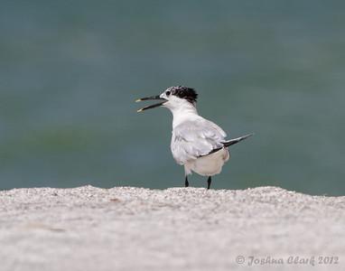 Sandwhich Tern Fort de Soto, Florida