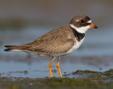 Male Semipalmated Plover Conneaut Sand Spit, Ohio