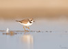 "<center><font face=""Century Gothic"" size=""+1"" color=""#FFFFFF"">Male Semipalmated Plover <font face=""Century Gothic"" size=""+1""><center><font color=""#377915"">Conneaut Sand Spit, Ohio</font></center></font></font></center>"