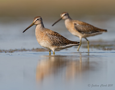 Short-Billed Dowitcher Conneaut Sand Spit, Ohio