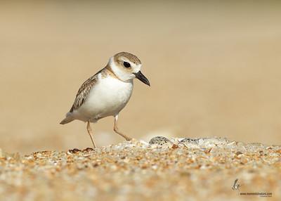 Wilson's Plover nest Flagler Beach, Florida