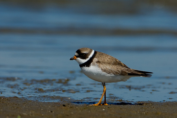 Semipalmated Plover<br /> Conneaut, Ohio
