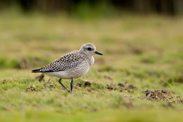 Black Bellied Plover<br /> Conneaut, Ohio