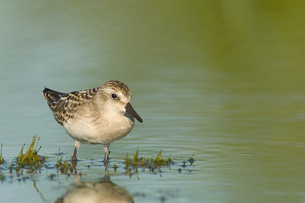 Semipalmated Sandpiper<br /> Conneaut, Ohio