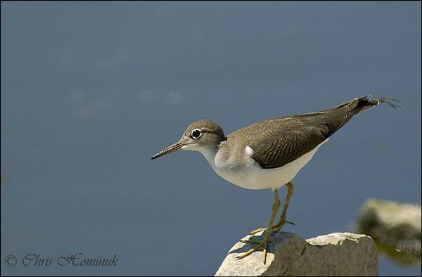 Spotted Sandpiper<br /> Port Dover, Ontario