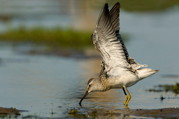 Stilt Sandpiper Feeding