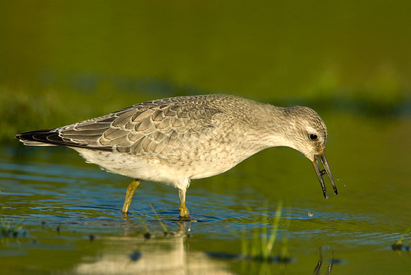 Red Knot<br /> Conneaut, Ohio