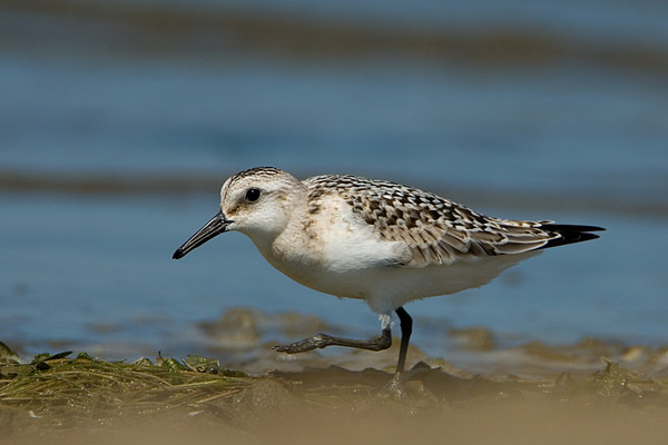 Sanderling<br /> Conneaut, Ohio
