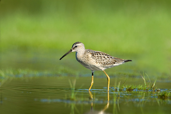 Stilt Sandpiper<br /> Conneaut, Ohio