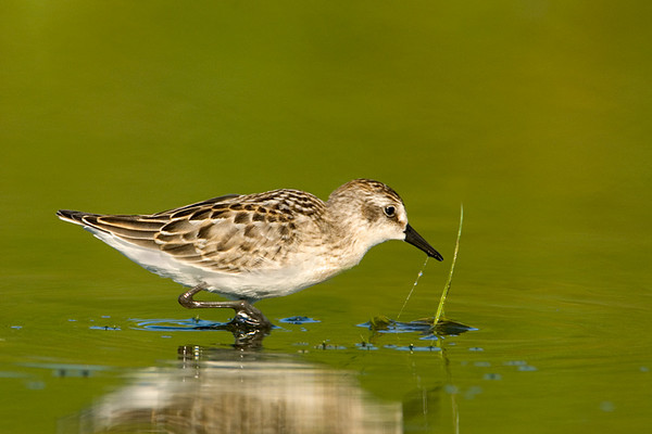 Least Sandpiper<br /> Conneaut, Ohio