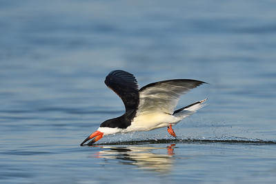 Black Skimmer; 420mm 1/4000 f/5.6 ISO 640