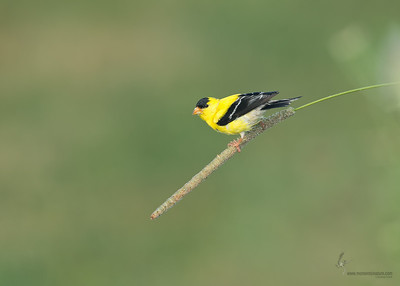 American Goldfinch Tallmadge Meadows, Ohio
