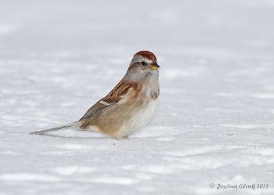 American Tree SparrowPortage County, Ohio