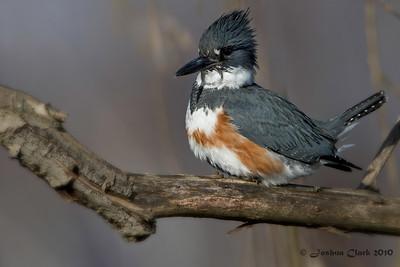 Female Belted KingfisherCastalia Pond, Ohio