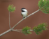 "<center><font face=""Century Gothic"" size=""+1"" color=""#FFFFFF"">Black-capped Chickadee</font></center><font face=""Century Gothic"" size=""+1""><center><font color= #377915>Portage County, Ohio"