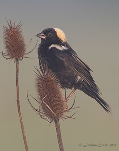 Male Bobolink Richfield Coliseum Grasslands, Ohio