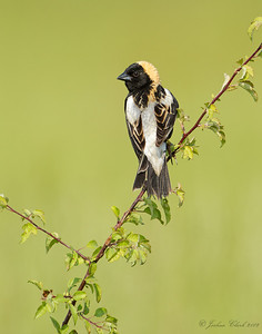 Male Bobolink, breeding plumage Bath Nature Preserve, Ohio
