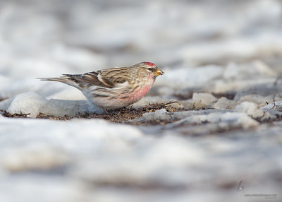 Common Redpoll Lorain Impoundment, Ohio