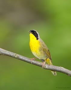 Common Yellow-Throat Ira Park, Ohio