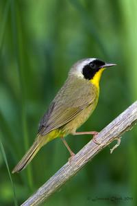 Common Yellow-Throat Brecksville Reservation, Ohio
