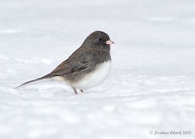 Dark-eyed Junco (male)Portage County, Ohio