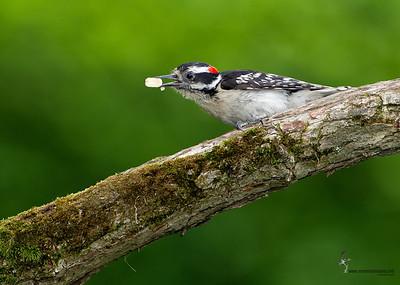 Downy Woodpecker Freedom, Ohio