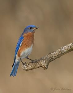 Eastern BluebirdBrecksville Reservation, Ohio