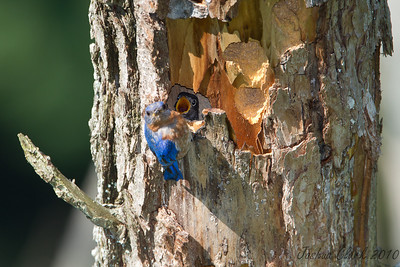 Eastern Bluebird Brecksville Reservation, Ohio
