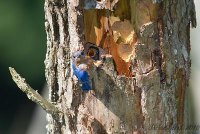 Eastern Bluebird Brecksville Reservation, Ohio