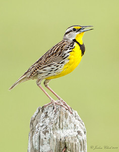 Eastern Meadowlark Indian River County, Florida