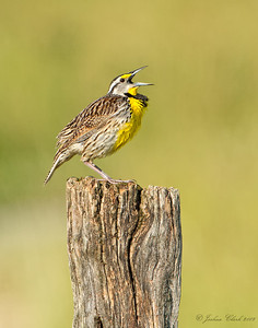 Eastern Meadowlark Bath Nature Preserve, Ohio