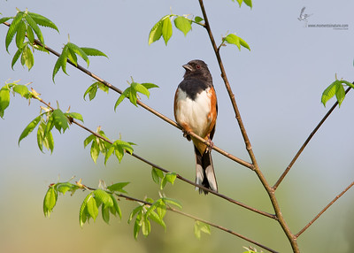 Eastern TowheeCuyahoga Valley National Park, Ohio