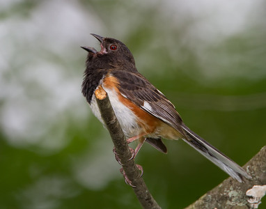 Male Eastern Towhee Cuyahoga Valley National Park, Ohio