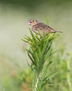 Grasshopper Sparrow Springfield Bog, Ohio