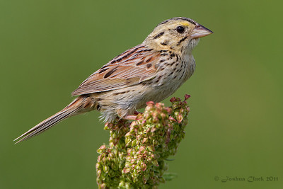 Henslow's Sparrow Richfield Coliseum Grasslands, Ohio
