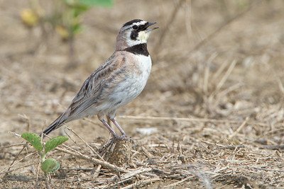 Horned Lark Margaret Peak Preserve, Ohio