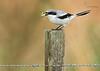 <center> <font>Loggerhead Shrike <font></font></font><center><font>Viera Wetlands, Florida</font></center> </center>