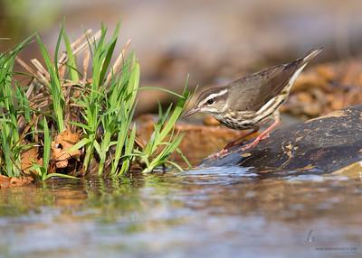 Louisiana WaterthrushShawnee State Park, Ohio