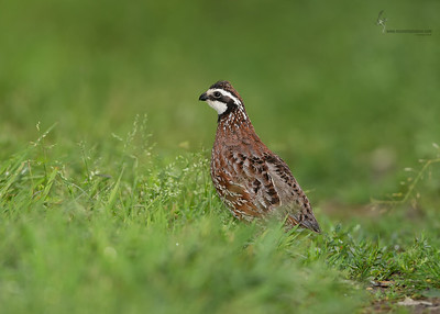 Northern Bobwhite Springfield Bog, Ohio