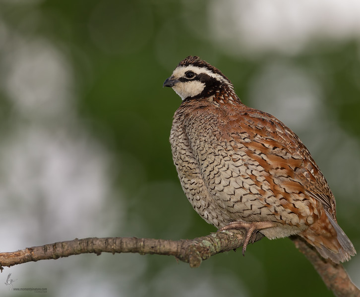 "<center><font face=""Century Gothic"" size=""+1"" color=""#FFFFFF"">Northern Bobwhite<font face=""Century Gothic"" size=""+1""><center><font color=""#377915"">Springfield Bog, Ohio</font></center></font></font></center>"