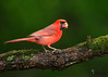 "<center><font face=""Century Gothic"" size=""+1"" color=""#FFFFFF"">Northern Cardinal <font face=""Century Gothic"" size=""+1""><center><font color= #377915>Freedom, Ohio"