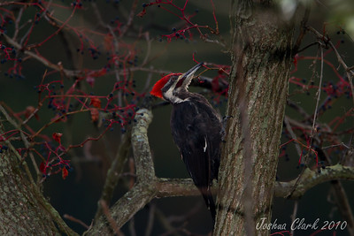 Pileated WoodpeckerBrecksville Reservation, Ohio