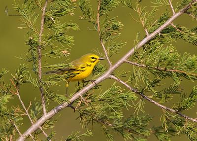 Prairie WarblerAppalachia Reserve, Ohio