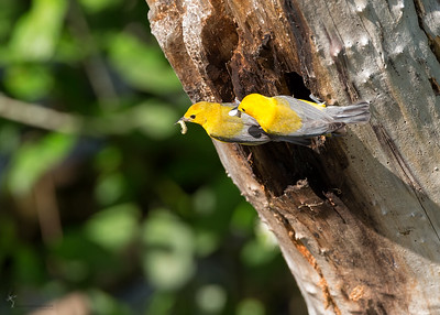 Prothonotary Warbler nestBrockville Reservation, Ohio