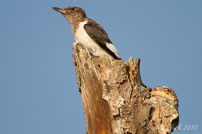 Juvenile Red - Headed WoodpeckerSandy Ridge Reservation, Ohio