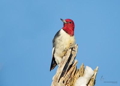 Red-headed WoodpeckerCVNP, Ohio