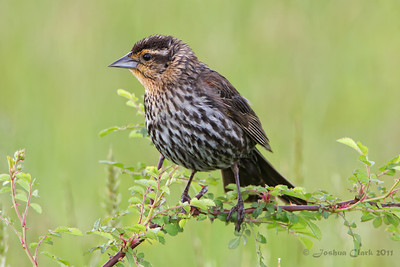 Female Red Winged Blackbird Bath Nature Preserve, Ohio