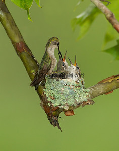 Ruby-Throated Hummingbird nest Gahanna, Ohio
