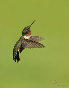 Ruby-throated HummingbirdFreedom, Ohio